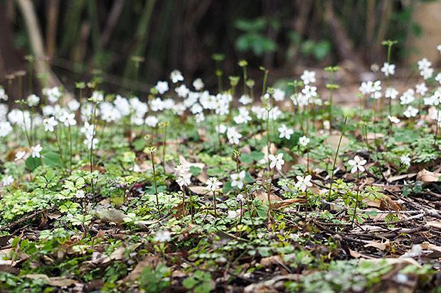 牧野氏の実家の裏山に咲いていたという「バイカオウレン」