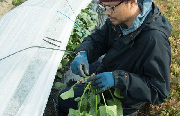 野菜の収穫は主に月・水・金曜日にしています。