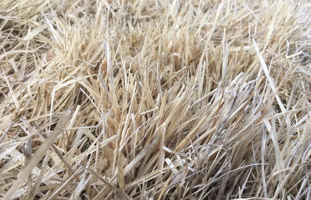 しっかりと乾いた草はよく燃えます。