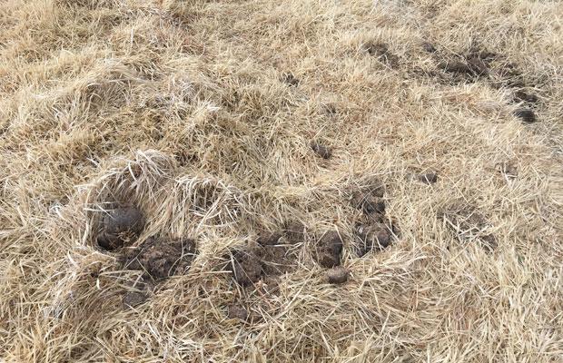 馬フンも草に紛れてたくさん転がっています。