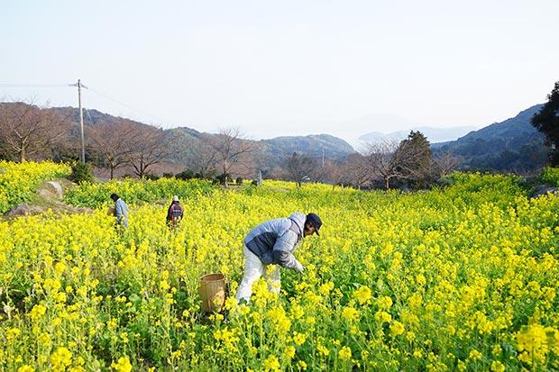 糸島の菜の花畑。