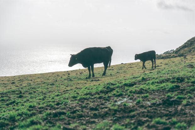 八丈島で放牧される牛