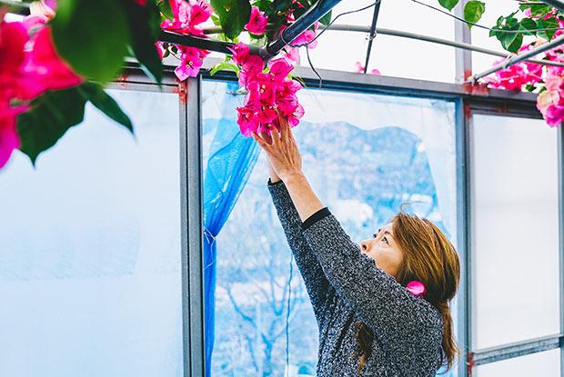 店の裏で育てているブーゲンビリアを収穫しているオーナーの佐久間通江さん。ピンク色の花びらに見える部分は、花を取り巻く葉(苞葉)。