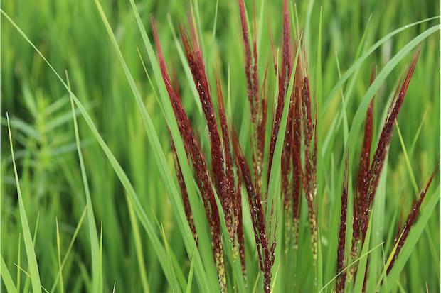 〈しかじか 米こがし〉のベースとなる赤米。