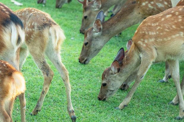 奈良公園周辺には約1200頭もの鹿が生息しています。