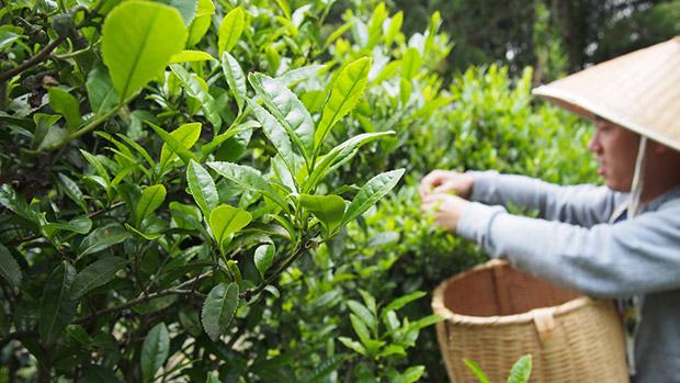 お茶摘みの風景。