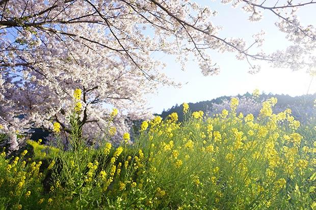 菜の花と桜が同時に楽しめるのは、今の時期だけ。