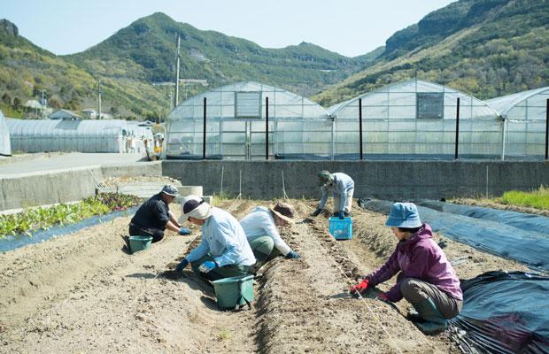 生姜の植えつけ作業。