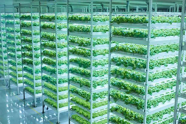 青々と育った野菜は、手前から毎日収穫される。