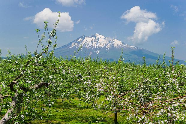 標高1625メートル、県内最高峰で、日本百名山かつ新百名山にも選出。別名は津軽富士……という説明が軽く感じられるほど、弘前のみなさんにとって大切なシンボル。岩木山とりんごの花。