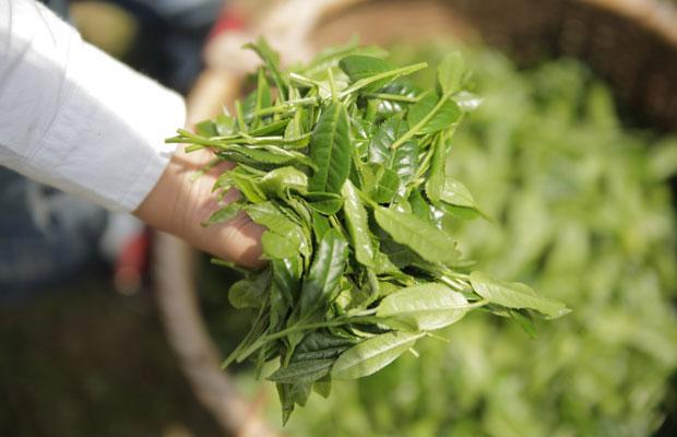 八女茶は、審査においてコク、甘みを強く感じるものが多いといわれています。