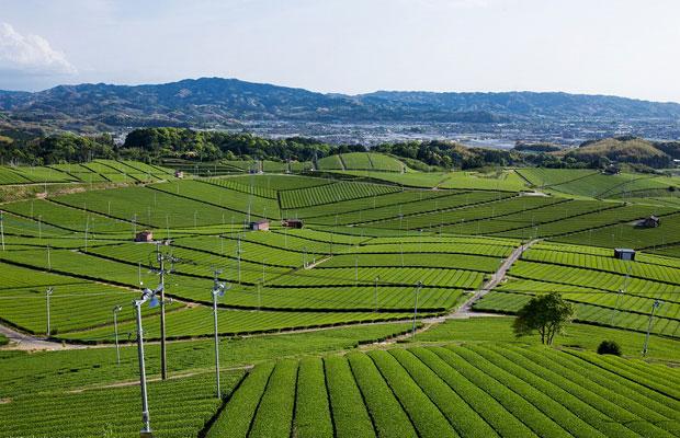 八女中央大茶園。全面パノラマの茶畑から、八女の地形や景色をご覧ください。