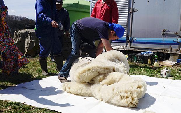 羊の毛刈りのようす。