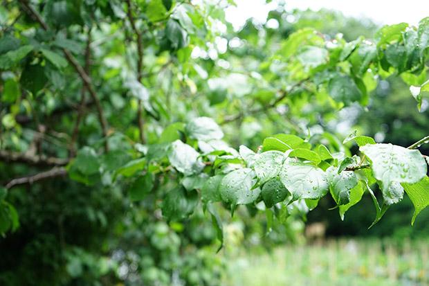 葉っぱだけの梅の木!