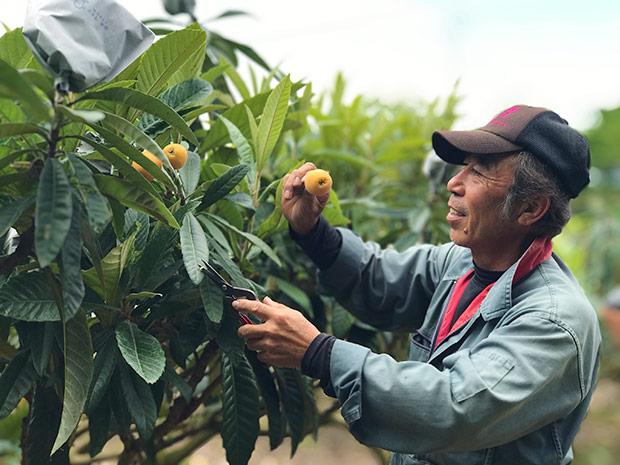 露地ビワの旬は5〜6月。ビワ農家さんは大忙しの季節です。