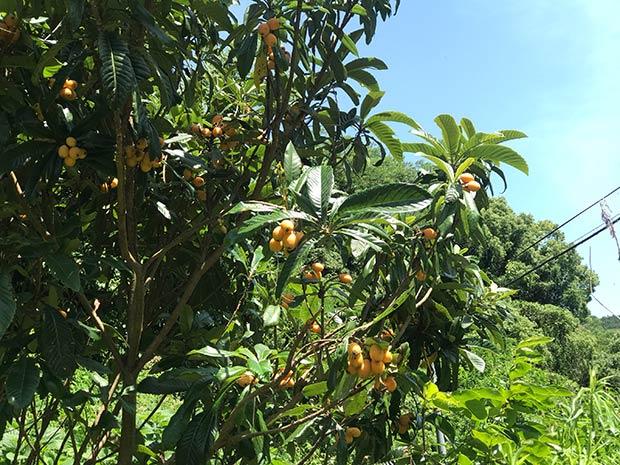 6月。まちを歩けば、あちこちにオレンジ色の実が。鳥に食べられる前に、早い者勝ち!