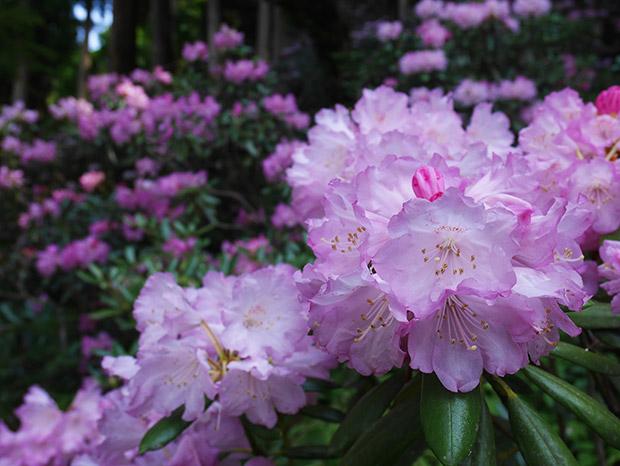 葉が小さく丸みを帯び、花びらが7枚あるのがオキシャクナゲの特徴。シャクナゲの多くは高山植物ですが、オキシャクナゲは日本で最も低地に自生しているそうです。
