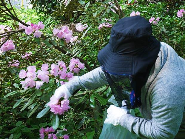 終わりかけの花を摘むと翌年もきれいな花を咲かせるのだそう。ひとつひとつ手で摘んでいくのは大変な作業です。