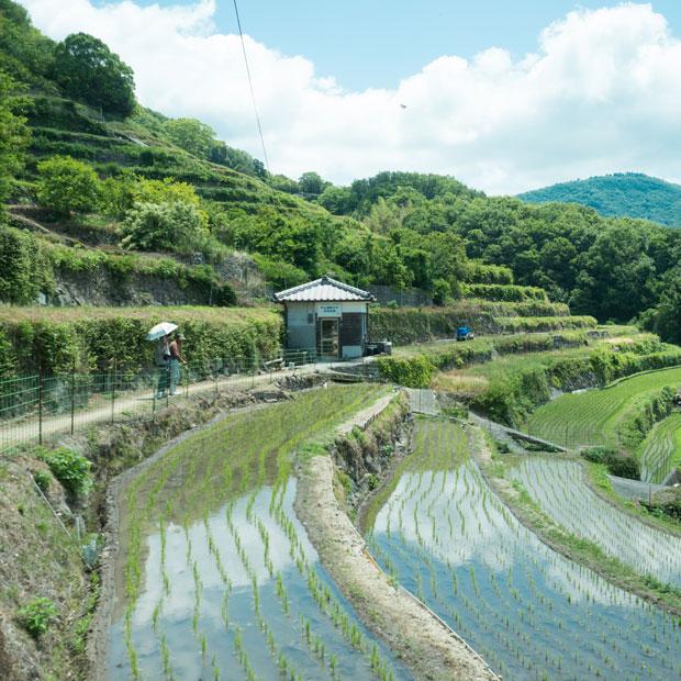 今年の中山千枚田風景。奥に見える小さな建物は、「中山湯船の水 共同洗場」。