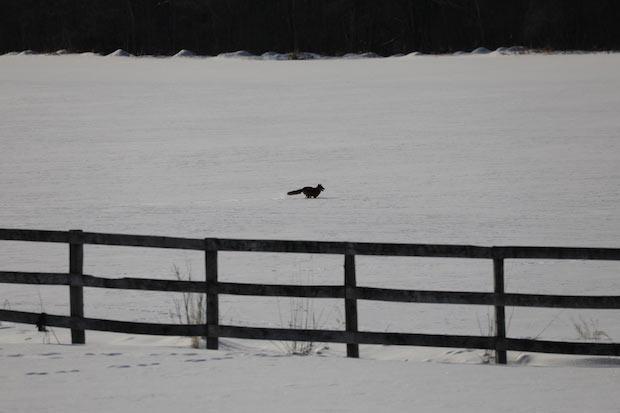 野生動物が雪の上を駆け抜ける