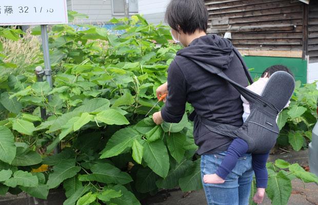 どこにでも生えているのがイタドリのいいところ。まずは葉を採取して草木染めの原料とする。