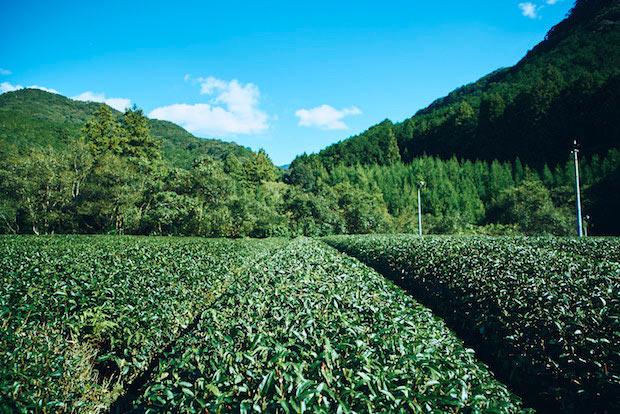 熊野にある茶畑