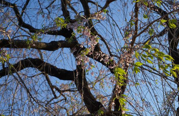 護国寺境内の枝垂れ桜。