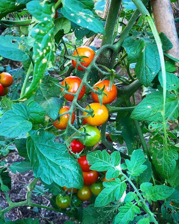 大きく育ったトマト。