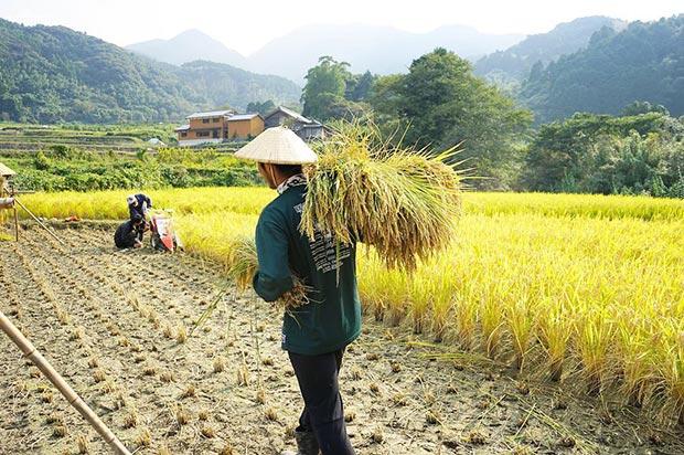 稲刈り時期の風景。