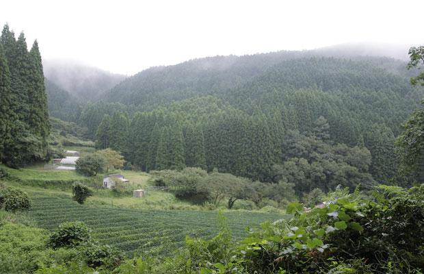 茶畑の奥に杉が植林されている奥八女の典型的な里山風景。