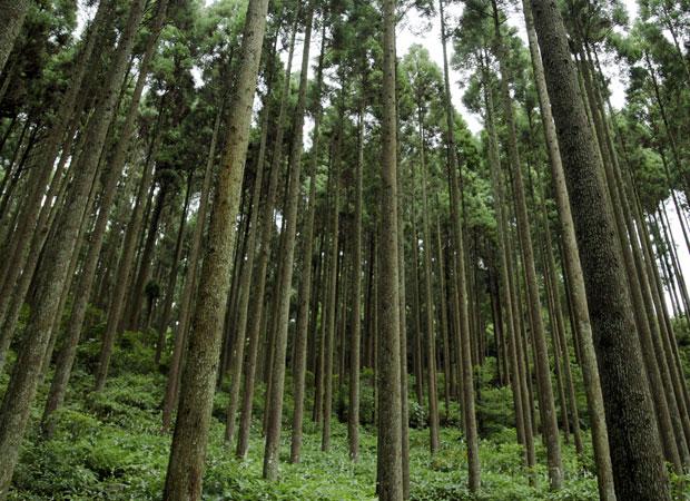 八女の森(杉)。きちんと手入れされている森には陽が射し込み、本当に美しい。