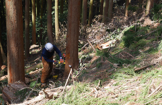 立木(タチギ:生えている状態)から切り倒す様子。チェーンソーで切り倒される瞬間の音が、体にずっしりと響く。
