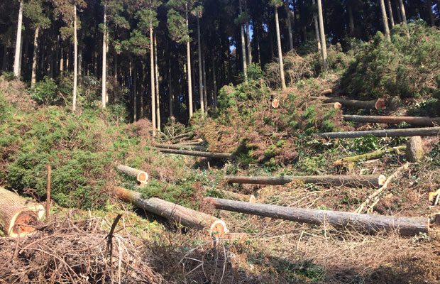伐採したあとに、倒したまま「葉枯らし乾燥」(数か月以上の乾燥)を行っている様子。