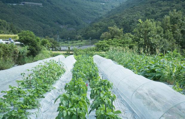畑では、モロヘイヤ、ツルムラサキなど夏後半の野菜が採れ始めてます。秋に採れるように植えたピーマンももうすぐ収穫。