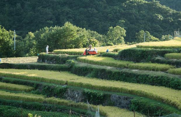 9月、収穫時期。この美しい風景があるのはお米を育て続けている人たちがいるから。