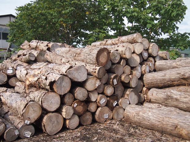 川連漆器の原料となる原木は、市場でせり落とされる。
