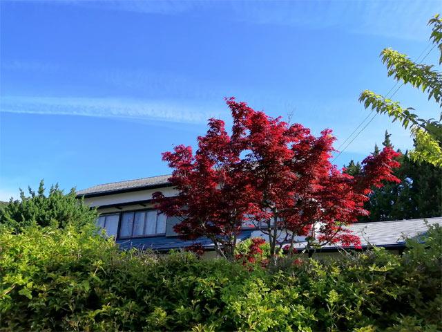 紅く染まった庭の紅葉