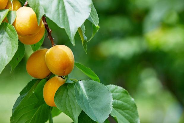 小布施産のあんず。昼夜の寒暖差が大きく、日照時間が長く、雨が少ない小布施にはおいしいフルーツが育つ条件が揃っています。