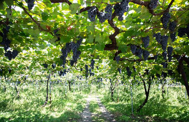 岩の原葡萄園ぶどう畑