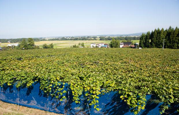 葡萄園の向こうに田んぼが広がるのもこの地域らしい風景。