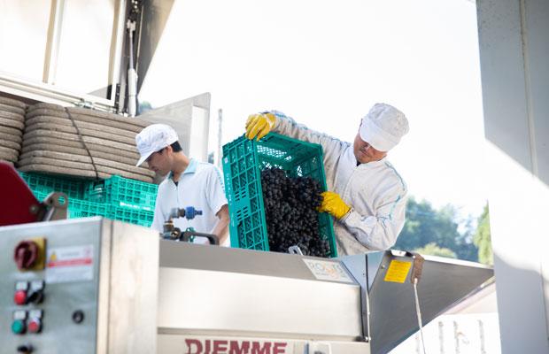 赤ワインの仕込み風景。ぶどうを除梗破砕機に入れ、果梗と実に分ける。