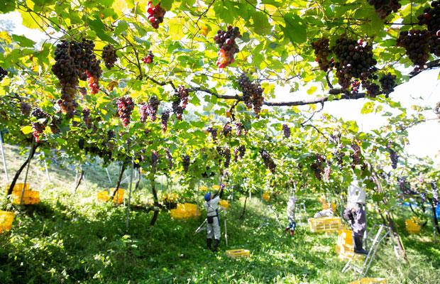 サイズと糖度の基準を満たしたぶどうから順に収穫。斜面に器用に脚立を立て、高いところのぶどうも手際よく。