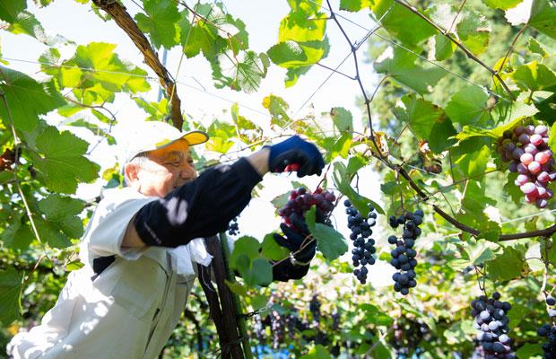 岩の原葡萄園のぶどう収穫