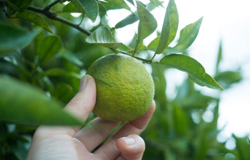 小豆島の木に実った宝物。  レモン、スダチ、ダイダイ、柑橘の恵み