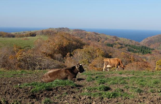 やまの会のメンバーである村上健吾さんの牧場では、穀物飼料を与えず草だけで牛を育て、チーズをつくっている。牧場からは海が見渡せる。
