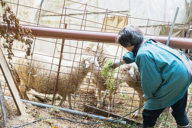 工房のすぐ近くで育てられている羊たち。これからまだまだ毛が増えるそう。