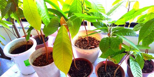 ショコラティエ・オウ・ルージュの2階では、いまも植物園から預かった苗が元気に育っている。