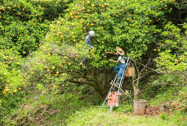 果物を収穫中