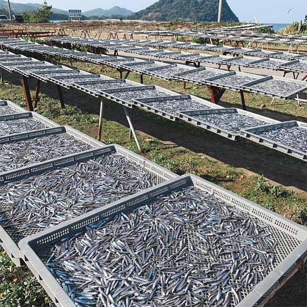 萩市の隠れた名産品、煮干し。天日で乾かし、旨みをじっくり引き出しています。