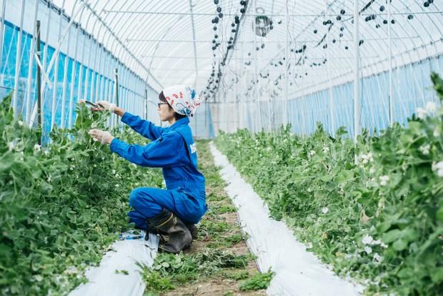 スナップエンドウのフラフラと弱い部分を補強しているところ。12〜1月にかけて収穫する予定。